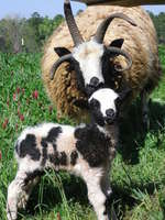 Mom_and_daughter_sheep_(2)