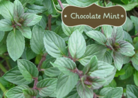 Chocolate_mint