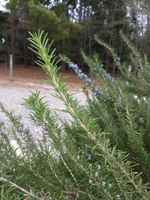 Alg_photo_rosemary_fresh