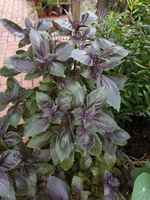 Alg_photo_purble_basil